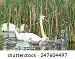 Couple White Swans Swimming...