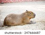 Sleeping Capybara.   Rodent