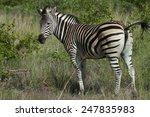 Plains Zebra  Equus Quagga ...