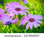 Pink African Daisy Flowers In ...
