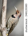 Yellow Shafted Flicker Vertica...