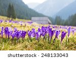 Crocus On A Green Meadow In...