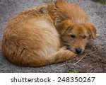 Homeless Red Dog