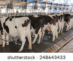 Farm Cows   Dairy Cattle   Mil...
