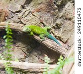 Small photo of A beautiful image of an earless agamid lizard green