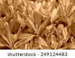 green plants    pittosporum in... | Shutterstock . vector #249124483