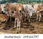 Постер, плакат: A new born calf
