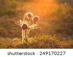 Pasque Flower Blooming On...