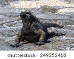 Marine Iguanas    Galapagos...