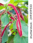 Small photo of Close up Chenille plant(Acalypha hispida) in a garden
