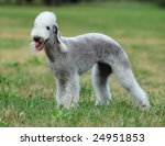 Bedlington Terrier  Dog Portrait