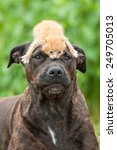 Stock photo american staffordshire terrier dog with little kitten on its head 249705013