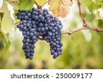 Bunches Of Pinot Noir Wine...