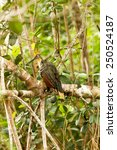Small photo of HOATZIN BIRD IN CUYABENO NATIONAL PARK, ECUADOR