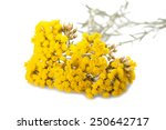 Immortelle  Helychrysum ...