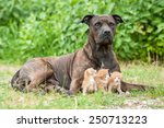 American Staffordshire Terrier...