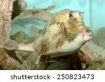Small photo of A Scrawled Cowfish (Acanthostracion Quadricornis) in a Home Aquarium.