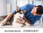Stock photo veterinarian is examining a cute siberian husky at hospital 250841857