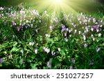 Cyclamen Cyprium Flowers ...