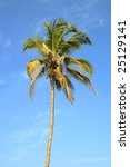 single standing green palm tree ...   Shutterstock . vector #25129141