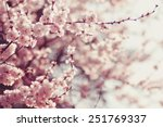 Spring cherry blossoms  pink...