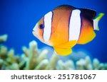 anemonefish swimming in bunaken ... | Shutterstock . vector #251781067