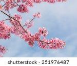 Spring Sakura Cherry Blossom