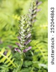 Small photo of Acanthus Mollis (Bear's Breeches) flower closeup