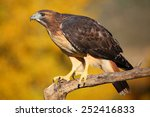 Red Tailed Hawk  Buteo...
