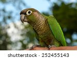 Green Cheek Conure Perched On ...