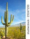 Giant Saguaro cactus, Saguaro National Park, Arizona - stock photo