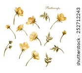 golden buttercup flower  ... | Shutterstock . vector #252712243