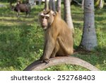 Southern Pig Tailed Macaque  K...