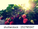 Strawberry Fruits In Growth At...