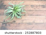 Small photo of Air plant Tillandsia, on a isolated wood background