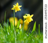 Yellow Miniature Daffodils In...