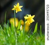 Yellow Miniature Daffodils In...