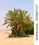 Desert Oasis With Date Palm Tree