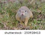 prairie dog in the grass....   Shutterstock . vector #253928413
