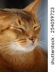 Small photo of cat, kitten, animals, pets, beautiful color, large ears, cute creatures, purring, whiskers, curiosity, grace, care for pets, Abyssinian