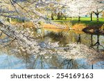 White Cherry Blossom Trees In...
