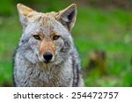 Small photo of Coyote