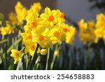 Jonquil  Narcissus  Flowers