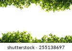 Banyan Green Leaves Isolated O...