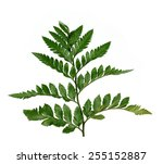 fresh green branch on a white... | Shutterstock . vector #255152887