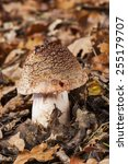 Small photo of Amanita rubescens growing on the forest floor