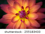 Closeup Of A Beautiful Dahlia...