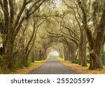 Lines Of Old Live Oak Trees...