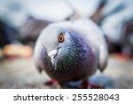 Pigeon Are Wondering.