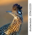 Greater Roadrunner Profile